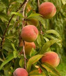 peach-kernel-extract